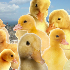 Community wondering if stranded ducklings are doing this onpurpose