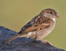 house_sparrow_passer_domesticus-_female_in_kolkata_i_img_3787_cropped