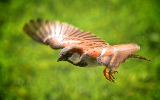 sparrow_in_flight